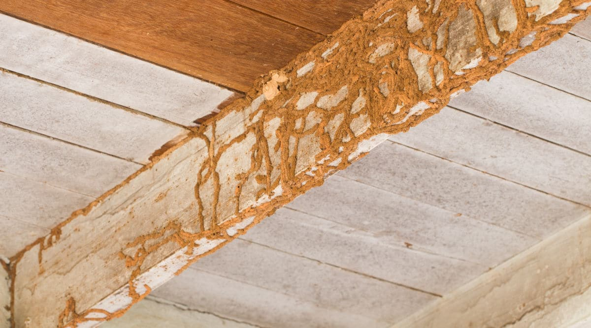 dry rot from termites